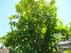 9-zitronenbaum